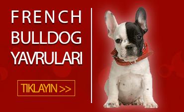 satılık french bulldog konya