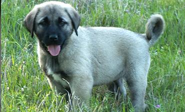 satılık yavru köpekler izmir 10
