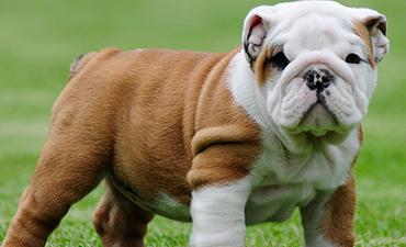 satılık yavru köpekler 14