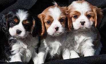 satılık yavru köpekler izmir