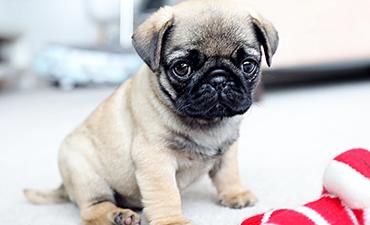 satılık yavru köpekler 5