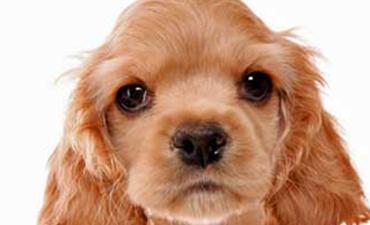 satılık köpekler izmir 7