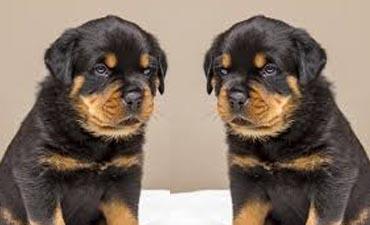 antalya satılık köpek 2
