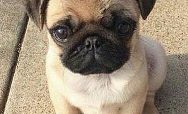 antalya satılık köpek 4