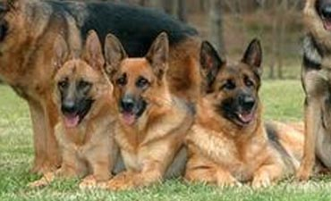antalya satılık köpek 7