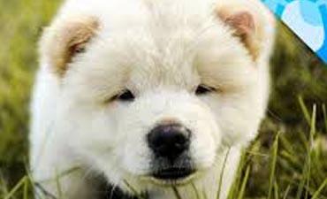 antalya satılık köpek 8