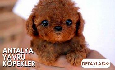 antalya satılık köpek