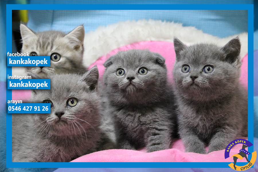 satılık british shorthair yavruları