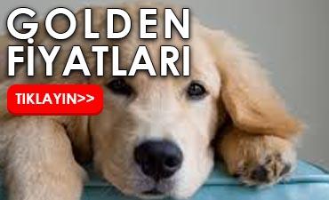 golden köpek fiyatları